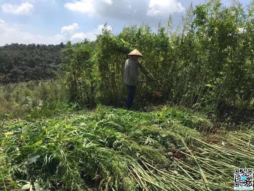 我在云南种工业大麻